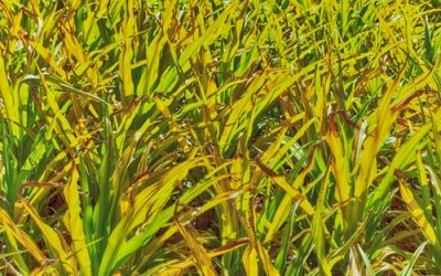 4 Simple Steps To Fix A Yellow Grass Lawn In Wrentham
